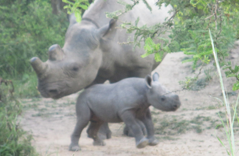 Baby black rhino with mother in Zimbabwe