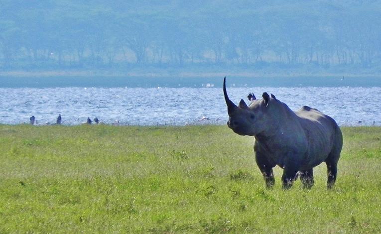 Black rhinoceros at Lake Nakuru, Kenya