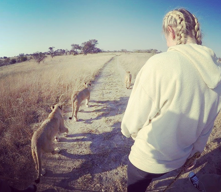 Walking with lions at Antelope Park, Zimbabwe