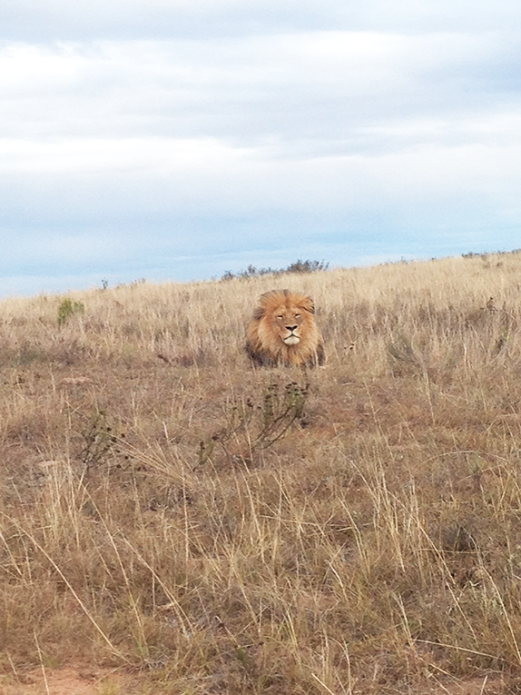 Male lion on a reserve in South Africa
