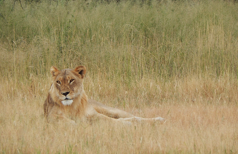 Lioness laying in the grass in Botswana