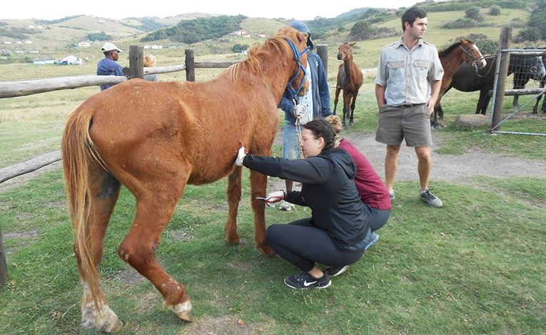Woman examining a horse