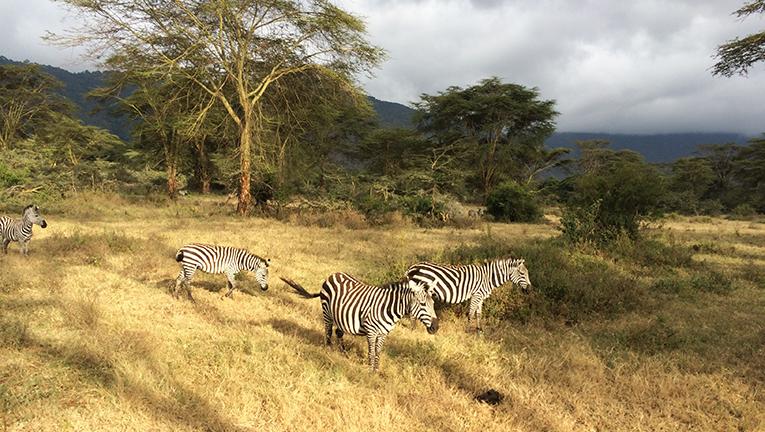 Zebras at Ngorongoro Crater National Park in Tanzania