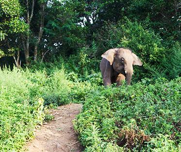 Wild thai elephant
