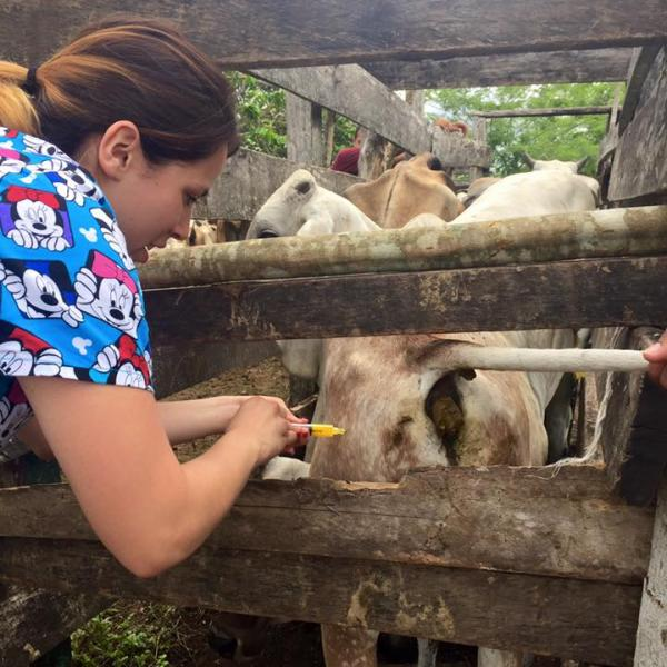 student give an injection to cattle