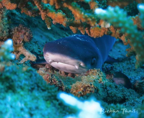 juvenile white tip reef shark in the Gili Matra Marine Reserve