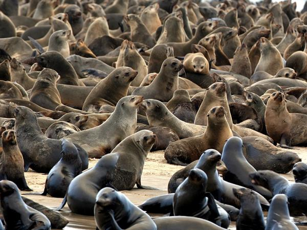 Cape Fur Seal Survey