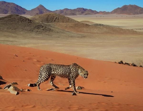 Cheetah Conservation Programme in Namibia