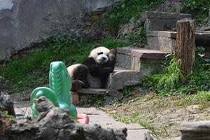 Panda Conservation in China | Travellersworldwide.com