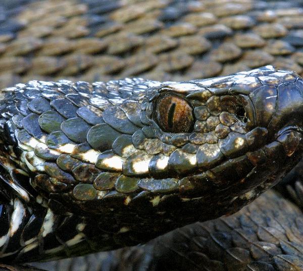 viper, habitat, restoration, drava region