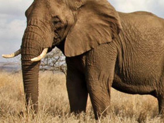 an adult elephant