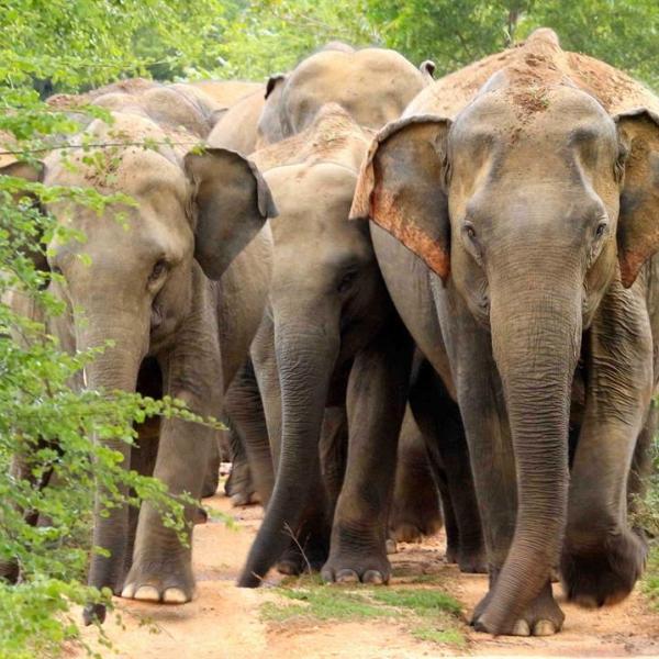 elephant conservation in Sri Lanka