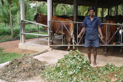 Photo of a local man with his cows, taken by a Projects Abroad volunteer in Sri Lanka