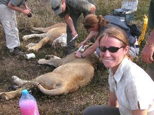 Sedating lions