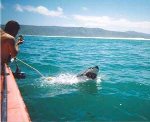 Marine Conservation with Great White Sharks in South Africa | travellersworldwide.com