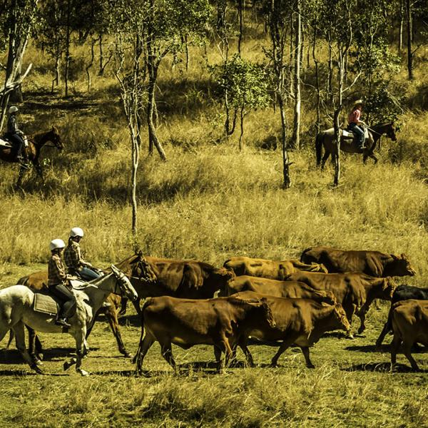Mustering a cattle requires group coordination