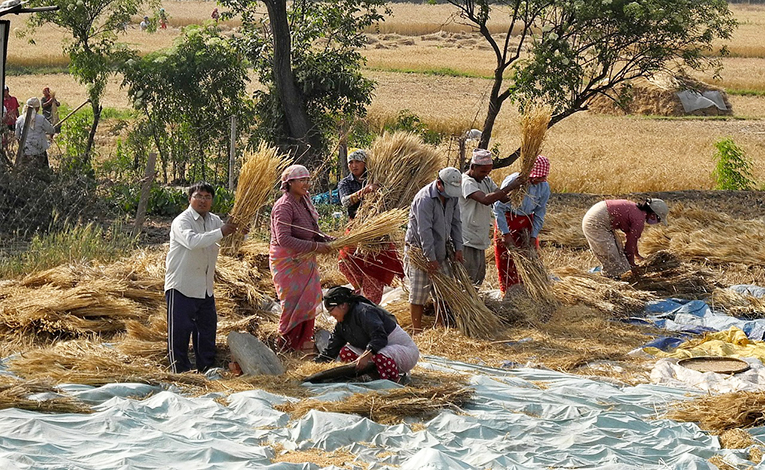 People from a village in Nepal gathering wheat