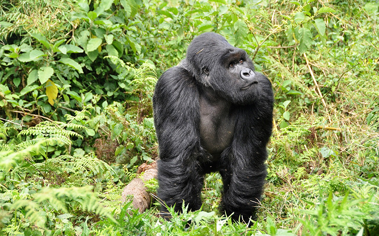 A mighty Gorilla in the forest of Rwanda