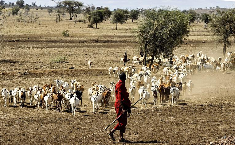 Maasai herding goats in Tanzania