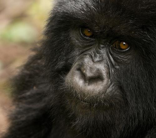 Say hello to a gorilla.