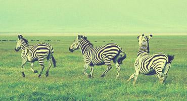 zebras running in a field