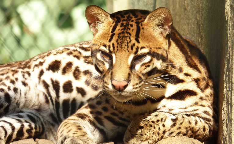 Ocelot sitting in the sun