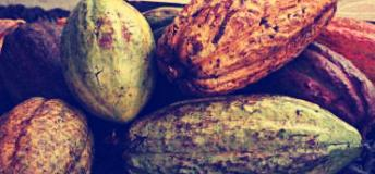 Cocoa, Cameroon's main cash crop.