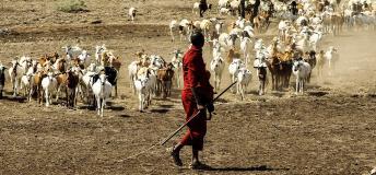 A Maasai herding goats in Tanzania